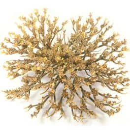 Rose of Jericho M