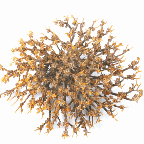 Rose of Jericho S